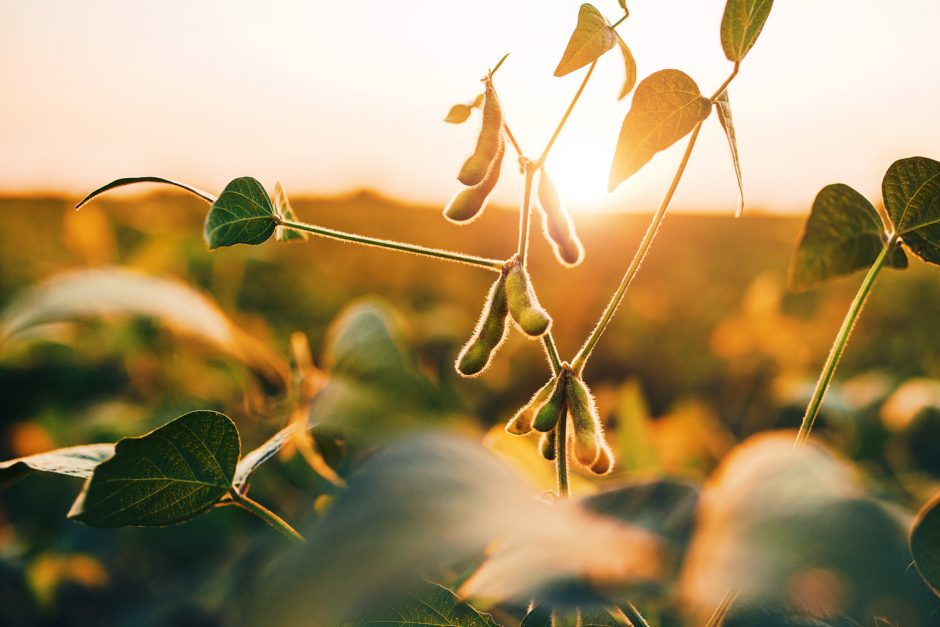 Soybean – Paddock To Plate