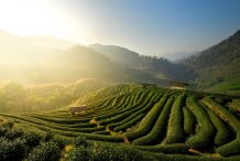 Sustainable Tea in Yunan