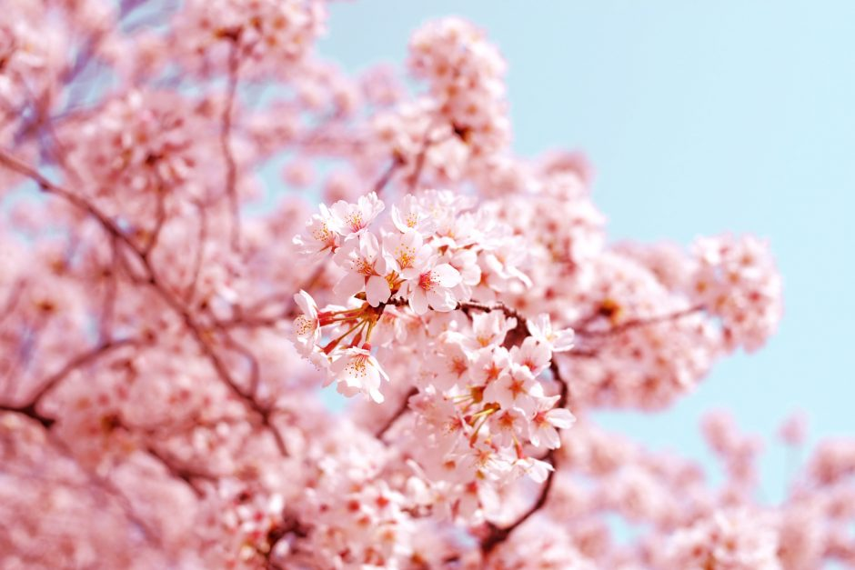 The Cultural Significance Of Japan S Cherry Blossom Asian Inspirations