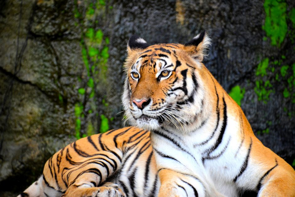 The Tiger in Chinese Culture